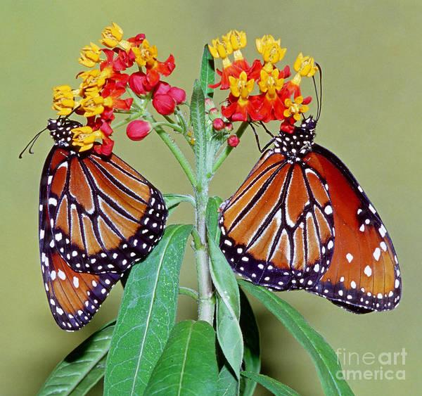 Pterygota Wall Art - Photograph - Queen Butterflies by Millard H. Sharp