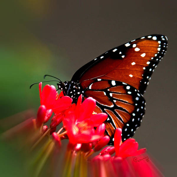 Photograph - Queen Butterfly II by Penny Lisowski