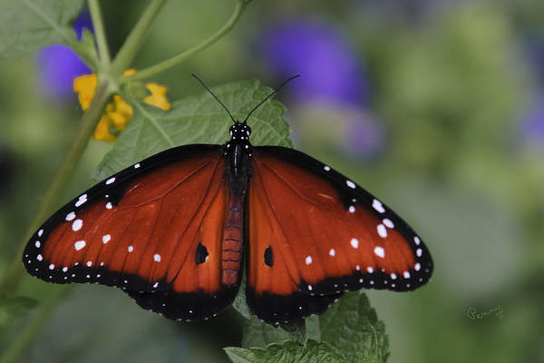 Photograph - Queen Butterfly by Penny Lisowski