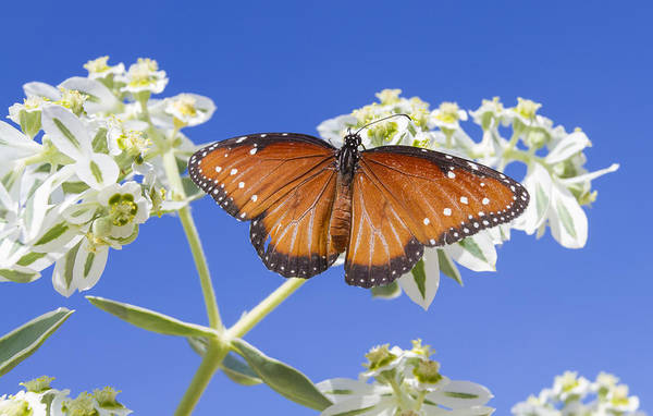 Photograph - Queen Butterfly by Steven Schwartzman