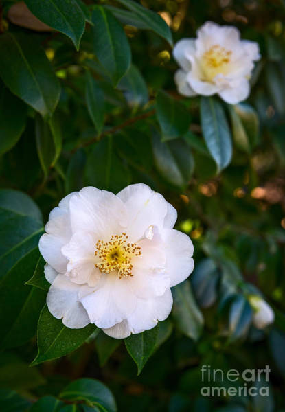 Wall Art - Photograph - Queen Camellia by Jamie Pham