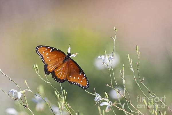 Wall Art - Photograph - Queen Butterfly  In Morning Light by Ruth Jolly