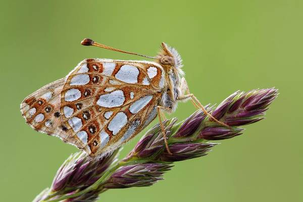 Imago Photograph - Queen Of Spain Fritillary by Heath Mcdonald