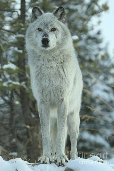 Alpha Wolf Wall Art - Photograph - Queen Of The Rockies by Adam Jewell
