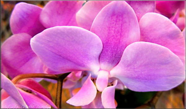 Photograph - Queen Pink Orchids Macros by Danielle  Parent