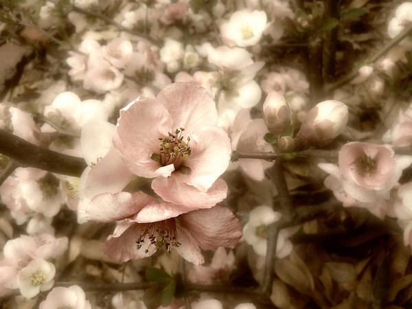 Photograph - Quince Flowers In Spring by MM Anderson