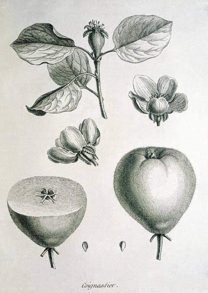 Quince Photograph - Quince by George Bernard/science Photo Library