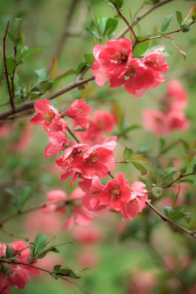 Photograph - Quince by Robert Clifford
