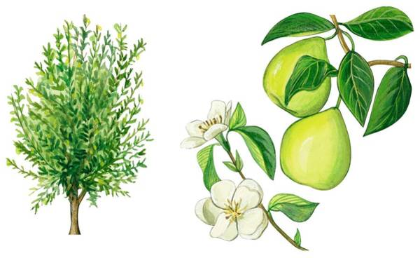 Close Up Drawing - Quince Tree by Anonymous