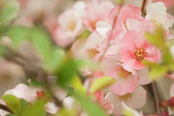 Quince Photograph - Quince Tree Blossom by Maria Mosolova/science Photo Library