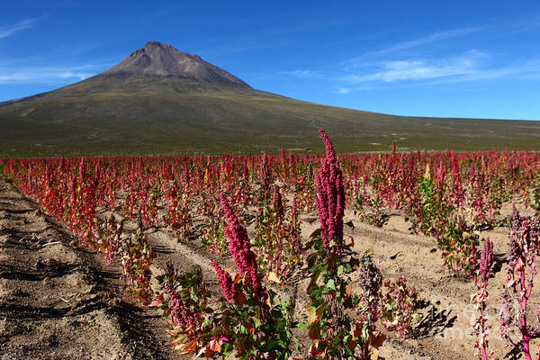 Photograph - Quinoa Field Chile by James Brunker