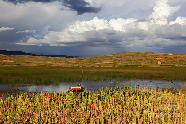 Photograph - Quinoa On Shore Of Lake Titicaca by James Brunker