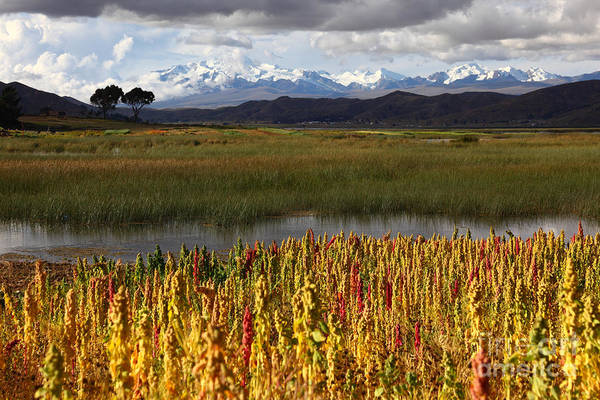 Photograph - Quinoa The Andean Cereal by James Brunker
