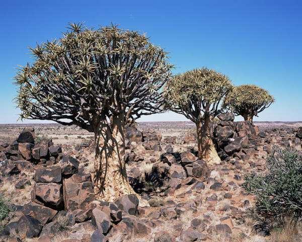 Distant Trees Wall Art - Photograph - Quiver Trees (aloe Dichotoma) by Sinclair Stammers/science Photo Library