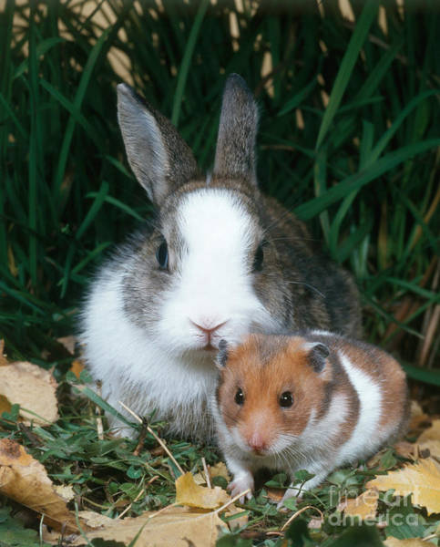 Hamster Photograph - Rabbit And Hamster by Hans Reinhard