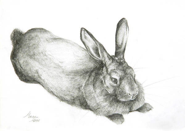 Etching Drawing - Rabbit by Jeanne Maze