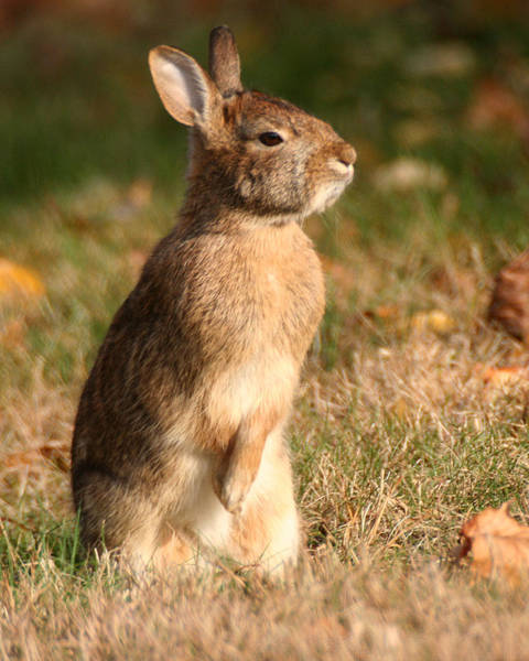 Photograph - Rabbit Standing In The Sun by William Selander