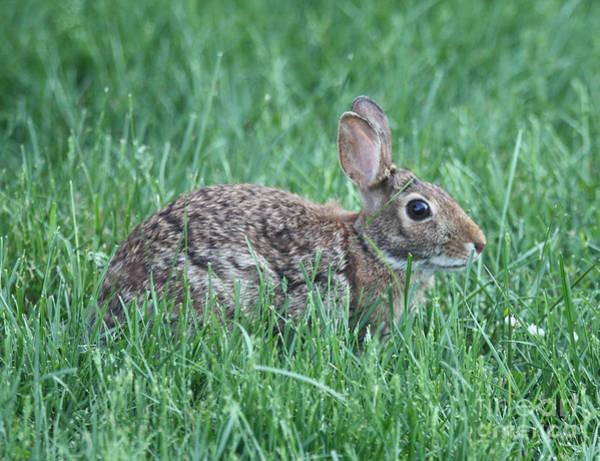 Wall Art - Photograph - Rabbit Hiding In The Grass by John Telfer