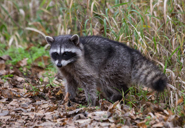 Raccoons Photograph - Raccoon by Angie Vogel