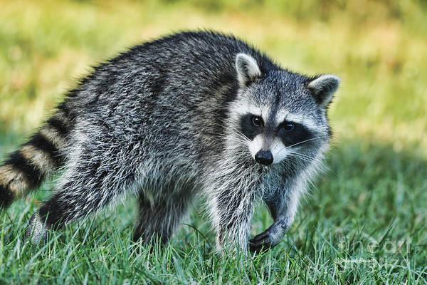 Raccoon Buddy Art Print