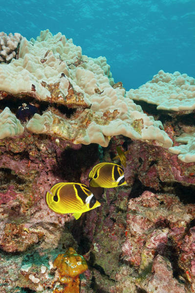 Raccoon Photograph - Raccoon Butterflyfish, Hawaii by Michele Westmorland
