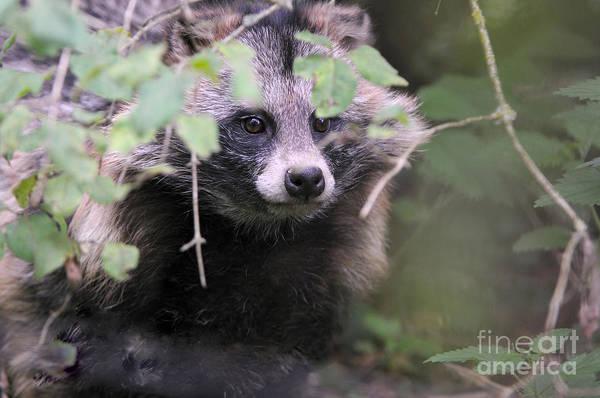 Reiner Photograph - Raccoon Dog by Reiner Bernhardt