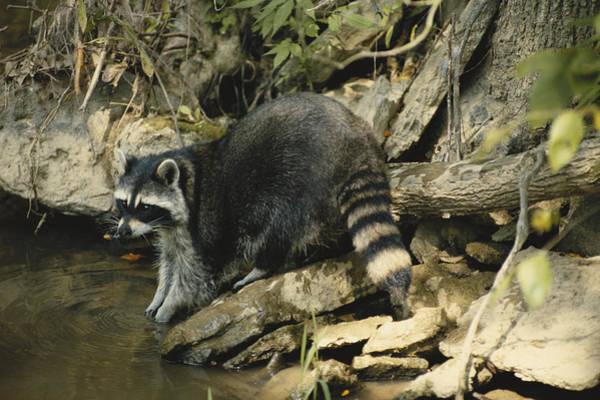 Wall Art - Photograph - Raccoon Feeding by G Ronald Austing