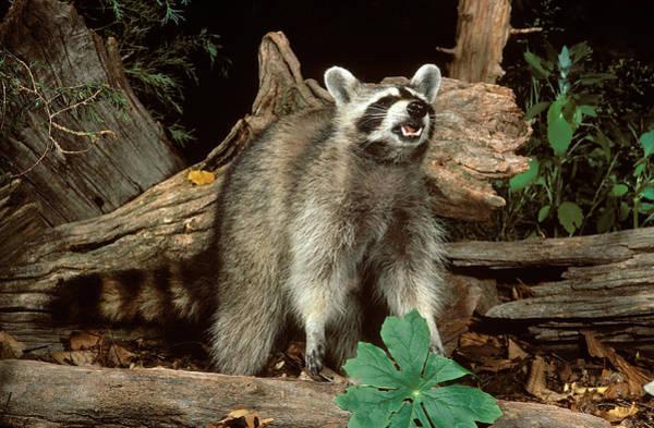 Wall Art - Photograph - Raccoon Foraging by E.r. Degginger