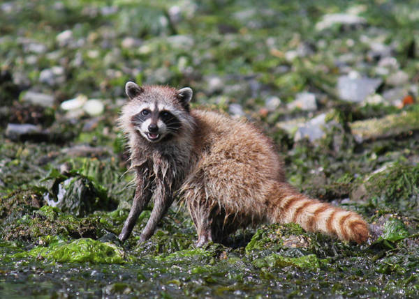 Wall Art - Photograph - Raccoon Hunting by Nancy Sefton