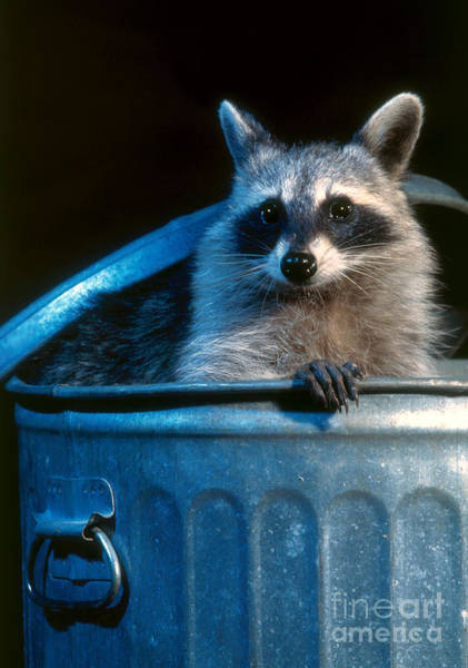 Raccoon Photograph - Raccoon In Garbage Can by Steve Maslowski