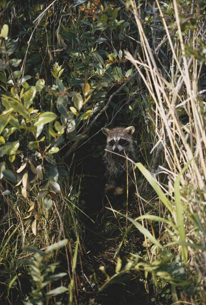 Wall Art - Photograph - Raccoon In Okefenokee by Carleton Ray
