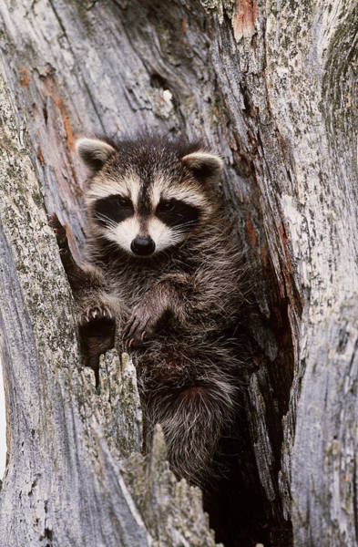 Wall Art - Photograph - Raccoon In Tree by Jeffrey Lepore