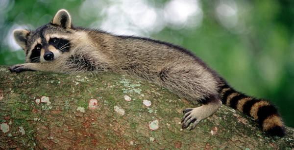 Wall Art - Photograph - Raccoon In Tree by Millard H. Sharp