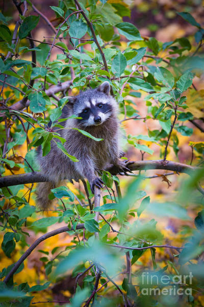 Raccoons Photograph - Raccoon by Inge Johnsson