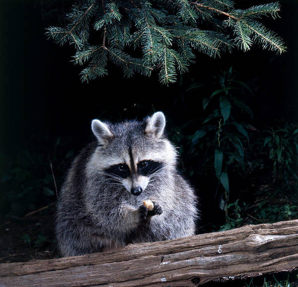 Wall Art - Photograph - Raccoon by Jeanne White