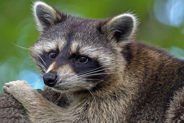 Photograph - Raccoon by Jerry Gammon