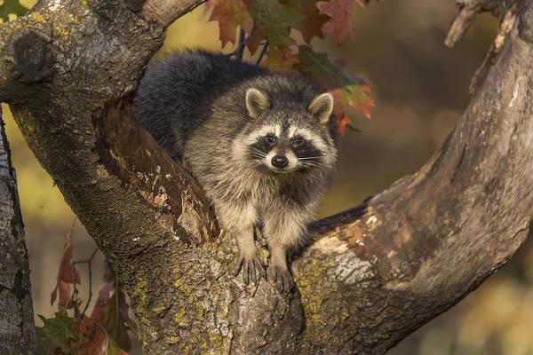 Wall Art - Photograph - Raccoon by Linda Arndt