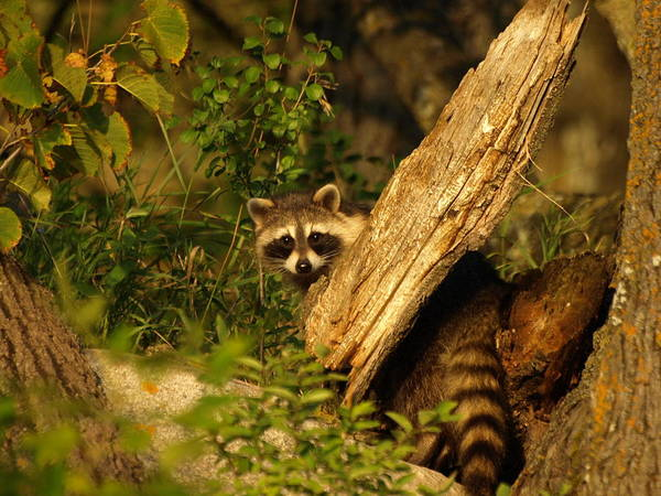Photograph - Raccoon by James Peterson