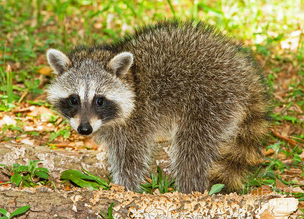 Photograph - Raccoon by Millard H Sharp