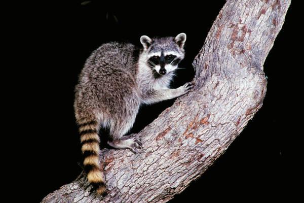 Wall Art - Photograph - Raccoon On Tree Trunk by Craig K. Lorenz