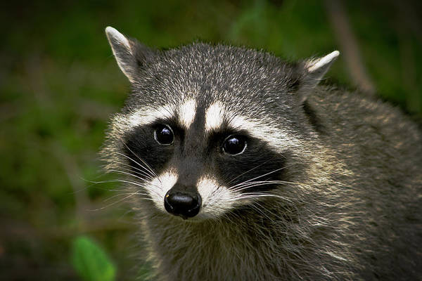 Raccoon Photograph - Raccoon by Robert Bales
