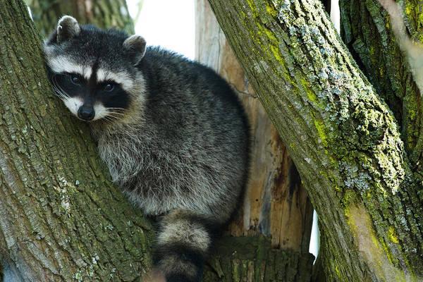 Raccoon Photograph - Raccoon, Skagit Valley, Washington, Usa by Art Wolfe
