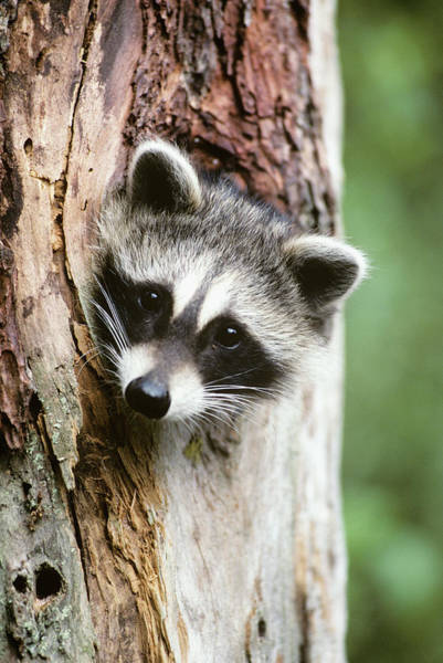 Raccoon Photograph - Raccoon Sticking Its Head Out Of A Tree by Animal Images