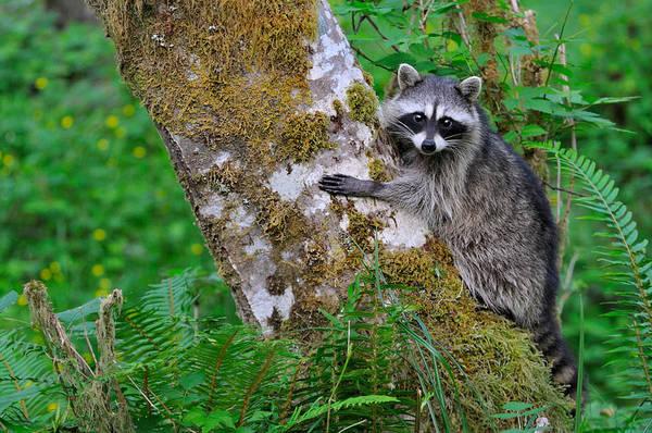 Wall Art - Photograph - Raccoon by Thomas And Pat Leeson