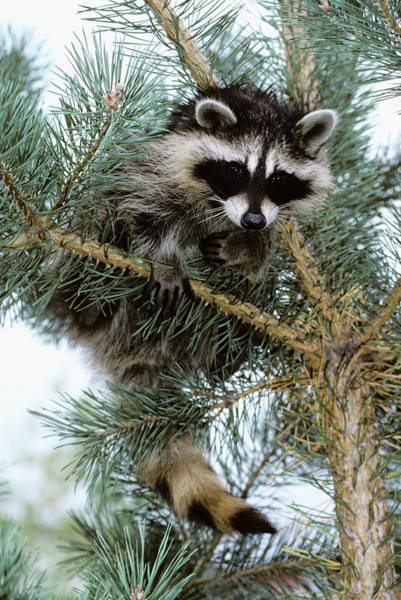Raccoon Photograph - Raccoon by Vintage Images