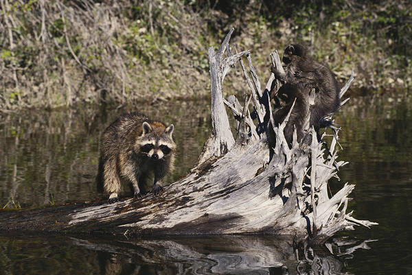 Wall Art - Photograph - Raccoon With Young by Thomas And Pat Leeson