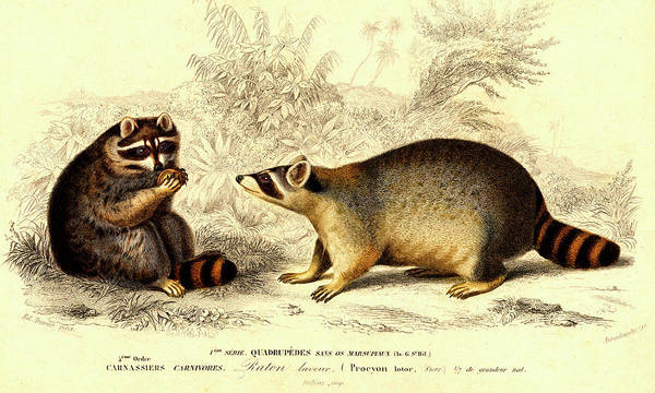 1800s Wall Art - Photograph - Raccoons by Collection Abecasis
