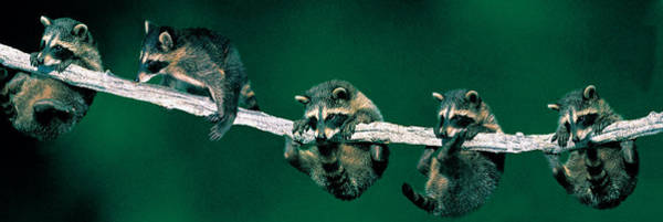 Raccoon Photograph - Raccoons Concept Alberta Canada by Panoramic Images