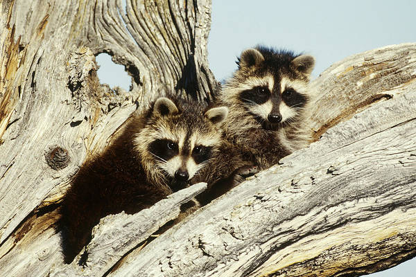 Wall Art - Photograph - Raccoons In Tree by Jeffrey Lepore