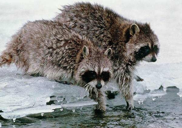 Raccoon Photograph - Raccoons Washing by William Ervin/science Photo Library